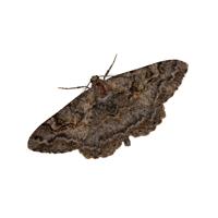 carpet moth control