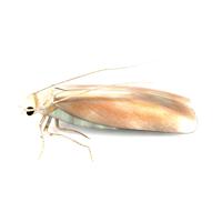 clothes moth control