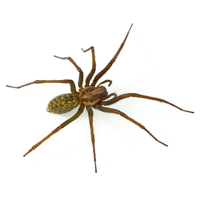 house spider control