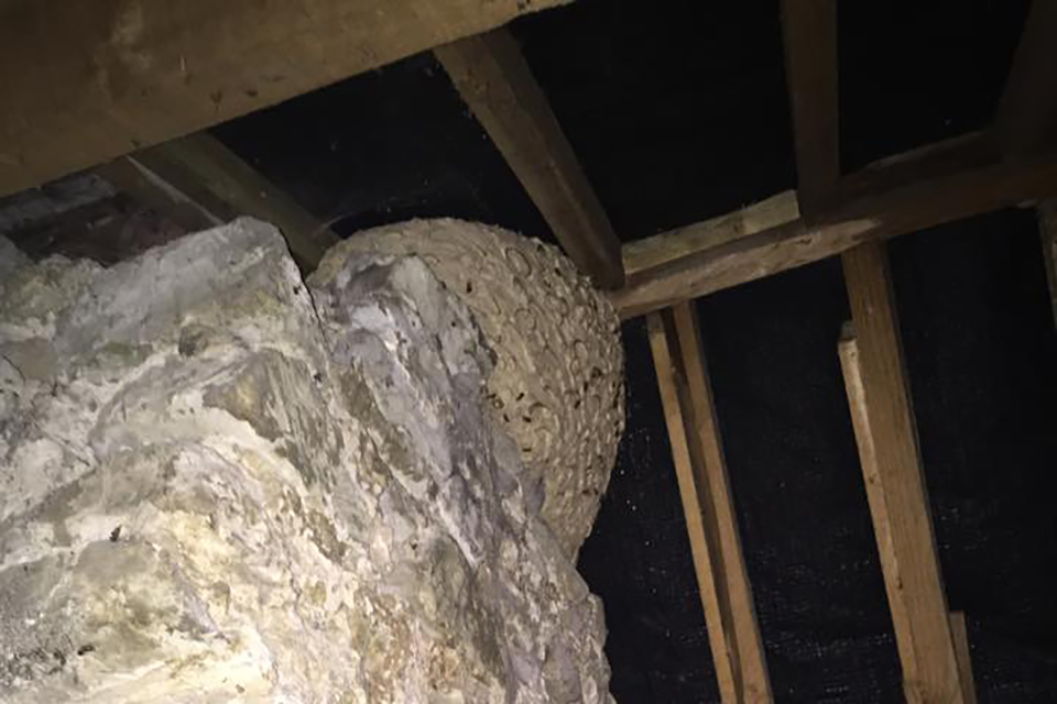 Hornet and Wasp nest removal in October